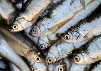 Oeganda (72) – Visvoer uit mest, eenden- en varkenshouderij – geadopteerd door Van der Donk
