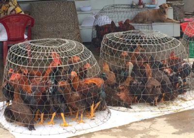 India (48) – Kippen in de achtertuin – sponsoren gezocht voor 2.315 eu