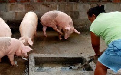 Biggen worden varkens