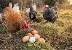 Oeganda (95) – Kippen in betere conditie – gesponsord door dhr. en mevr. Cremers-Bunnik